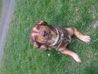 Просмотреть фотографию Вязка собак Озорной кабель ищет суку для вязки 38571150 в Новосибирске