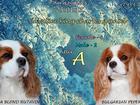 Изображение в Собаки и щенки Продажа собак, щенков Продаются щенки Ккчс с отличной родословной, в Новосибирске 45000