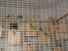 Фото в   Приму волнистый попугаи держу я давно построил в Новосибирске 0