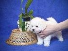 Изображение в Собаки и щенки Продажа собак, щенков Два замечательных щенка, кобель ( Бантик), в Новосибирске 0