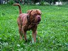 Увидеть foto Вязка собак Бордоский дог 38952013 в Новосибирске