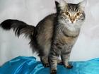 Изображение в Кошки и котята Продажа кошек и котят Отдам котика в добрые руки.   Зовут Мэйк, в Новосибирске 0