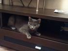 Просмотреть foto Вязка Русская Голубая кошечка ищет кота в Новосибирске/Бердске 39074511 в Новосибирске
