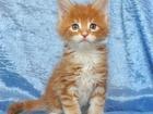 Фотография в Кошки и котята Продажа кошек и котят Продается котик мейн-кун Лео из питомника в Новосибирске 0