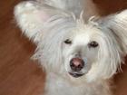 Смотреть изображение Вязка собак порода Китайский Хохлатый Пуховый 39835704 в Новосибирске
