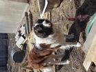 Скачать бесплатно foto Вязка собак Молодой(2г, 2мес,) с очень хорошей родословной(не развязан) привит, адекватен, окрас плащевой, в холке 80см, вес 75кг, Победитель 6ти выставок(3-всероссийских, 40002172 в Новосибирске