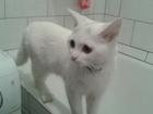 Смотреть foto Вязка кошек Нужен британский котик для вязки, О себе: симпатичная годовалая британская белая кошечка ни разу не вязалась, 45986974 в Новосибирске
