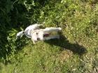 Скачать фото Вязка собак Вязка мальчика-фокстерьера 51441562 в Новосибирске