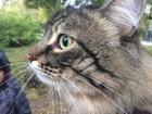 Просмотреть foto Вязка кошек Молодой кот желает познакомиться, или кот для вязки 53006915 в Новосибирске