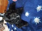 Скачать бесплатно фотографию  Кокер Спаниель Американец ,ищет девочку для вязки, 54406544 в Новосибирске
