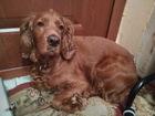 Уникальное изображение Вязка собак Требуется жених - Русского охотничьего спаниеля 60454726 в Новосибирске