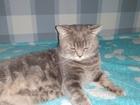 Уникальное изображение Вязка кошек Красивый британец готов для встречи с кошечкой 62843772 в Новосибирске
