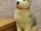 Смотреть изображение Отдам даром - приму в дар Серо-белая девочка Сибирской хаски РКФ 69031135 в Новосибирске