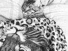 Смотреть фотографию Вязка кошек Ищем невесту мейн кун Гуччи 70427972 в Новосибирске