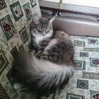 Сибирская кошка в хорошие руки