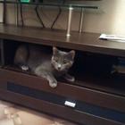 Русская Голубая кошечка ищет кота в Новосибирске/Бердске