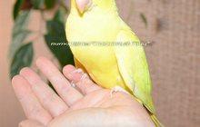 Ручной ожереловый попугай – окрас золотой