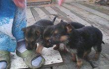 продам щенков немецкой овчарки( не дорого)