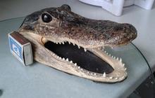 Американский Аллигатор голова Таксидермия крокодил