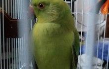 Ожереловый попугай (попугай Крамера)
