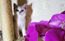 Котенок Шиншиллы
