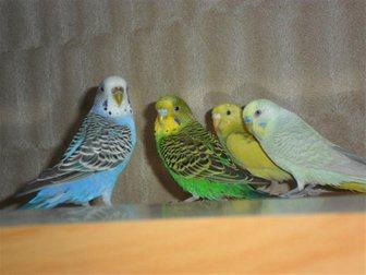 Свежее фото Птички Птенец волнистого попугая 31226703 в Новосибирске