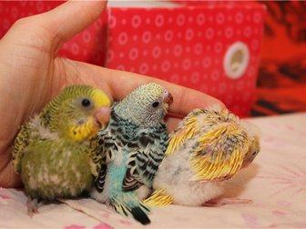 Скачать изображение Птички Птенец волнистого попугая 31226703 в Новосибирске