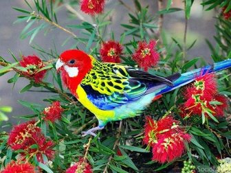 Скачать изображение Птички Розеллы птенцы 2, 5 месяца 31405121 в Новосибирске