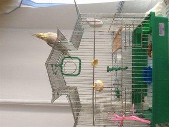 Смотреть изображение Птички Продам самку карелы с клеткой и кормом 32414251 в Новосибирске