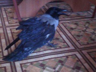 Просмотреть foto Птички ворона серая 32697018 в Новосибирске