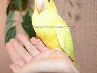 Просмотреть foto Птички Ручной ожереловый попугай – окрас золотой, 32756187 в Новосибирске
