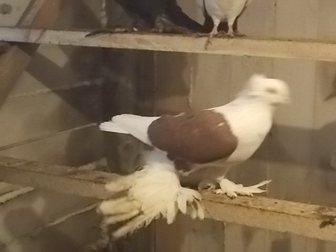 Смотреть фотографию Птички Голуби, узбеки, бакинцы, персы бокатые, 33227116 в Новосибирске