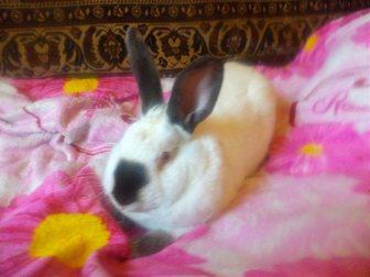Смотреть фотографию Грызуны Калифорнийские кролики 34261696 в Новосибирске