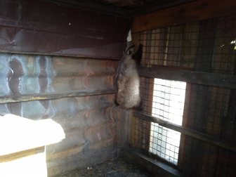 Просмотреть фото Другие животные барсук 34999197 в Новосибирске