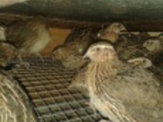 Увидеть фотографию Птички Перепела, перепелята, цыплята японской яйценоской породы 36424674 в Новосибирске