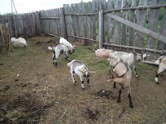 Скачать бесплатно фото Другие животные Козы и козлы продам 36883797 в Новосибирске