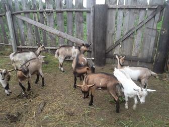 Новое изображение Другие животные Козы и козлы продам 36883797 в Новосибирске
