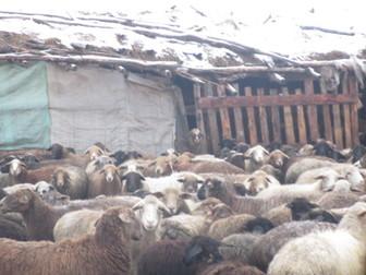 Свежее фото  Продаю с/х животных 37423895 в Новосибирске