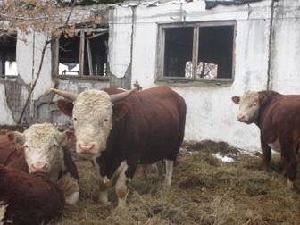 Увидеть фото  Продаю с/х животных 37423895 в Новосибирске