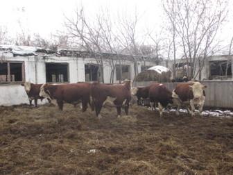 Увидеть foto  Продаю с/х животных 37423895 в Новосибирске