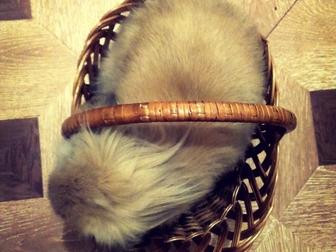 Просмотреть фото Грызуны Продам голландского вислоухого кролика 38202675 в Новосибирске