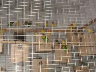 Увидеть фото  Попугаи волнистые 38781719 в Новосибирске
