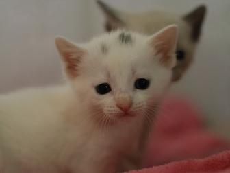 Просмотреть изображение Отдам даром - приму в дар Маленькая кошечка Кнопа ищет дом!) 40018752 в Новосибирске