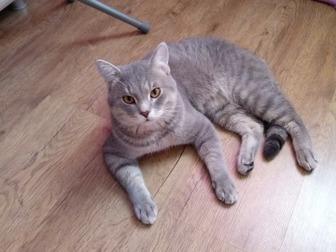 Увидеть foto Отдам даром - приму в дар Отдам кота в добрые руки, полубританец 41269763 в Новосибирске