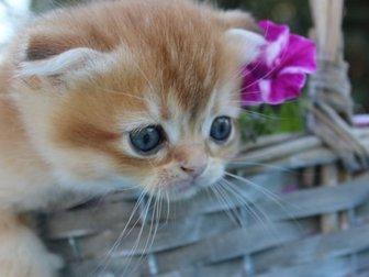 Продается в  в любимцы очень красивая девочка очень яркого окраса с большими глазами! (д, р, 19, 08, 19)Окрас SFS  ny 25,  Родители клубные,  Мама n 22(черный мрамор), в Новосибирске