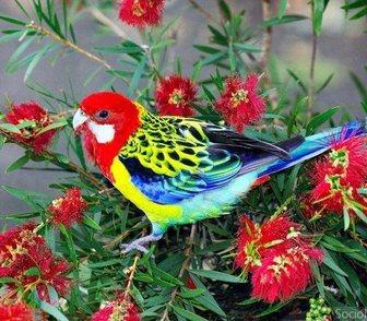 Foto в Домашние животные Птички Розеллы-средних размеров попугаи. К этому в Новосибирске 7500