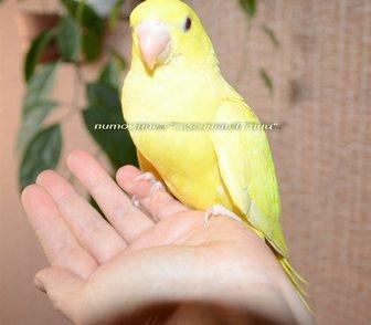 Фото в Домашние животные Птички Продам выкормыша ожерелого попугая, окраса в Новосибирске 20000