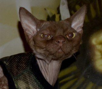 Фотография в Кошки и котята Продажа кошек и котят Открыт резерв котят Девон рекс, помёт ( Н в Новосибирске 20000