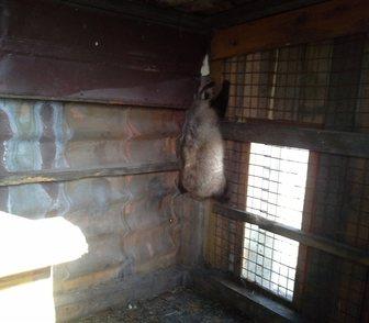 Фото в Домашние животные Другие животные Продам живого барсука (самка). Барсучиха в Новосибирске 20000