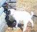 Фотография в Домашние животные Другие животные Предлагаем к продаже отличных козочек альпийской в Новосибирске 7000